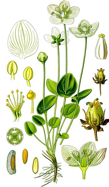 Parnassia palustris aus Thomé (1885)