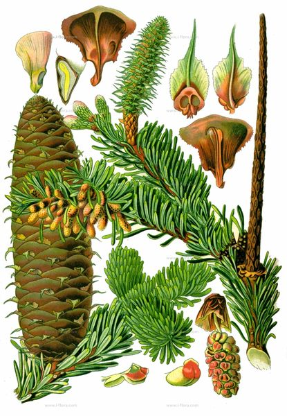 Abies alba aus Thomé (1885)