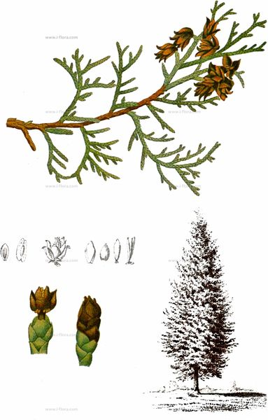 Thuja occidentalis aus Millspaugh (1892)