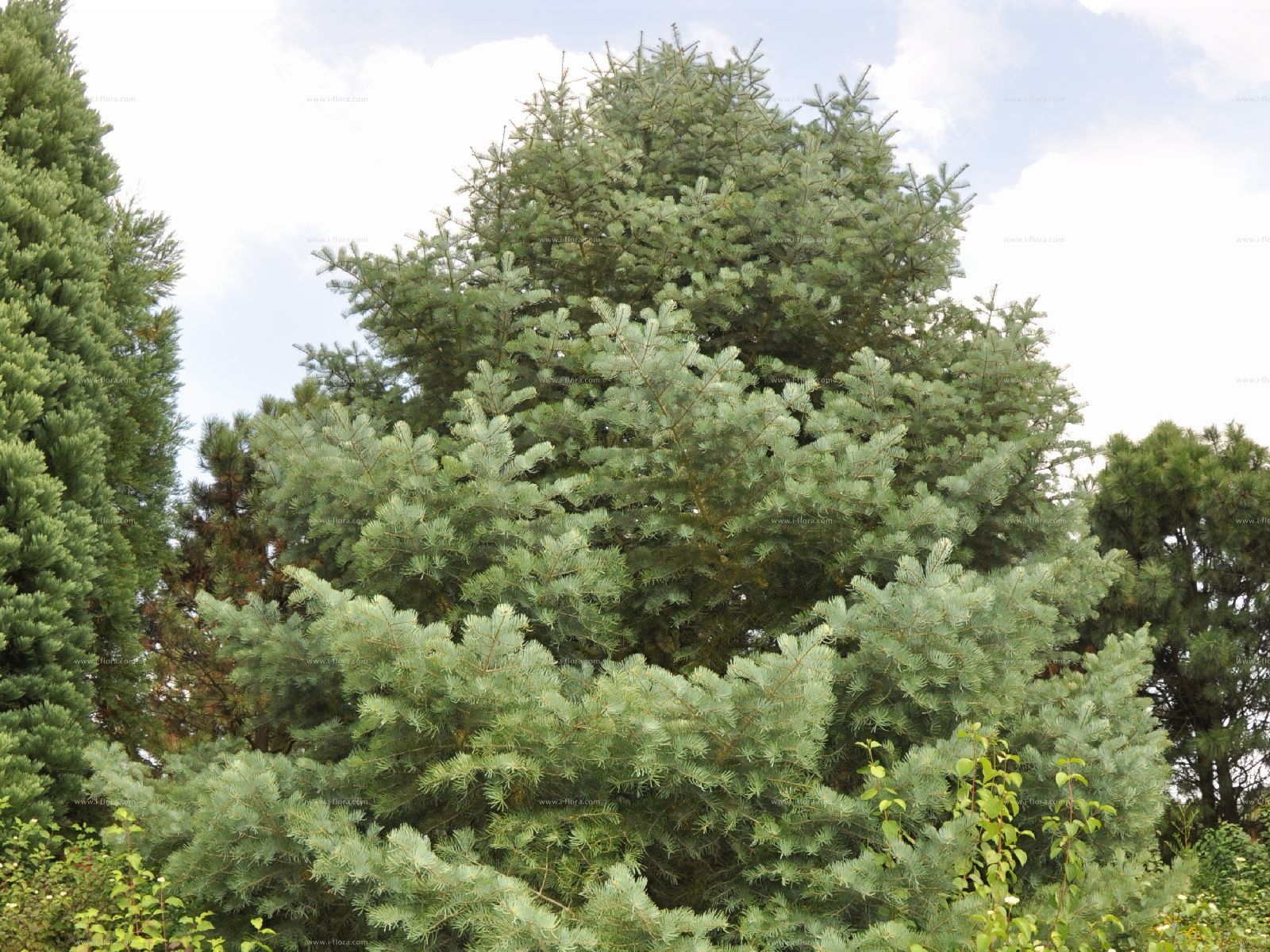 Species Colorado White Fir Abies Concolor Gordon Hildebr