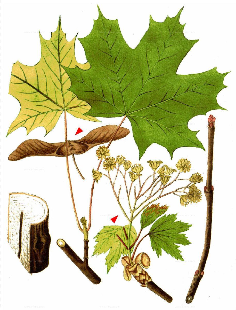 Ahornbaum Früchte