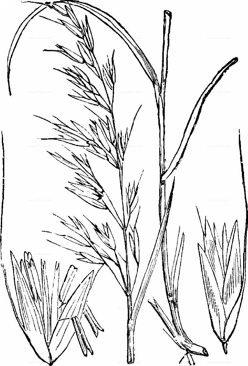 Arrhenatherum elatius Glatthafer 25 kg francés raygras heno mähgras