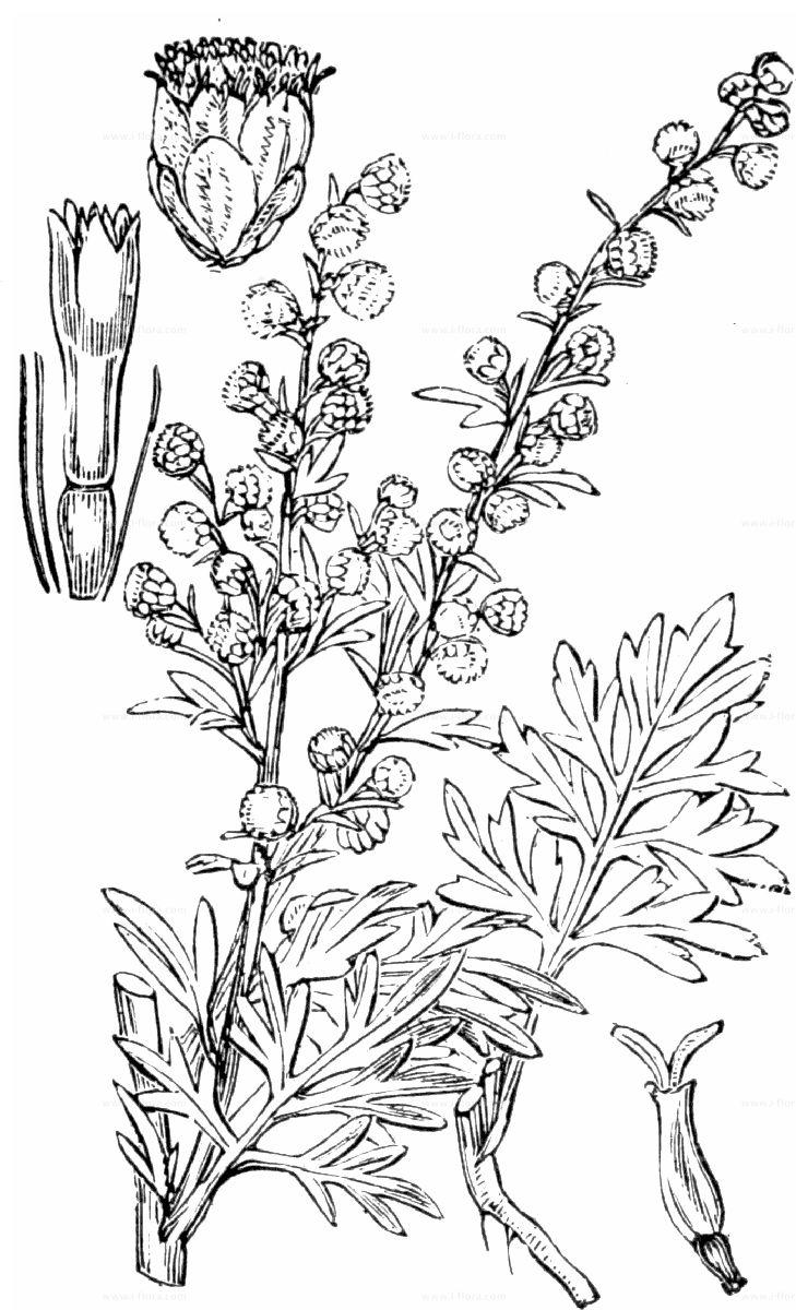 Phylogenetic Tree Wermut Artemisia Absinthium L