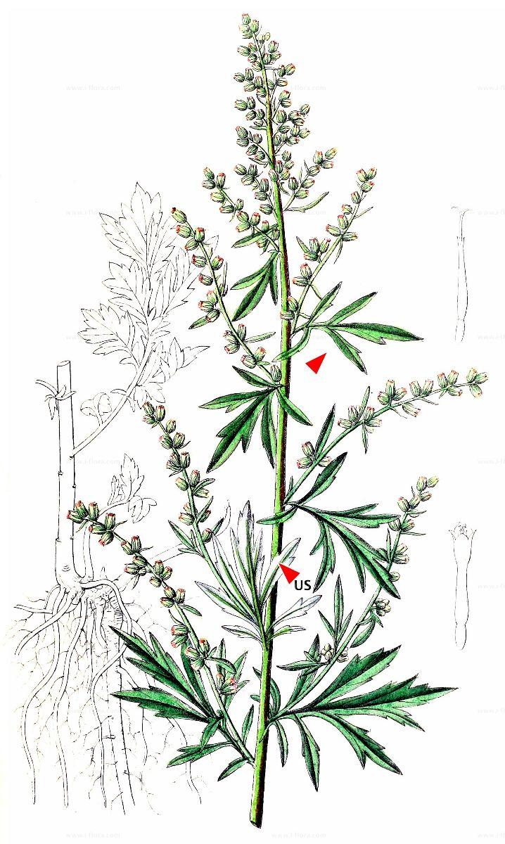 Stammbaum Gewohnlicher Beifuss Artemisia Vulgaris L