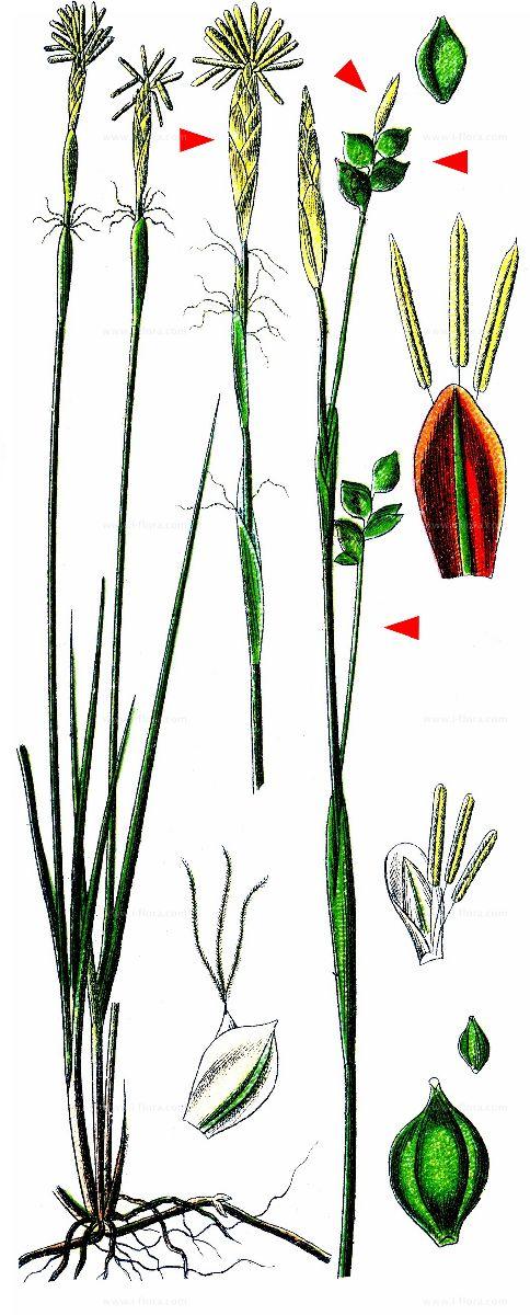 Weiße Segge Carex alba