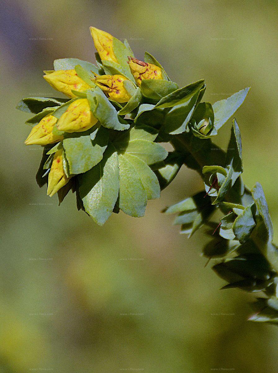 Suche nach arten kleine wachsblume cerinthe minor l for Kleine teichfische arten