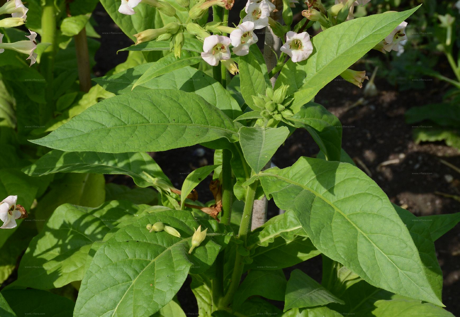 Search for species - Virginischer Tabak (Nicotiana tabacum L )