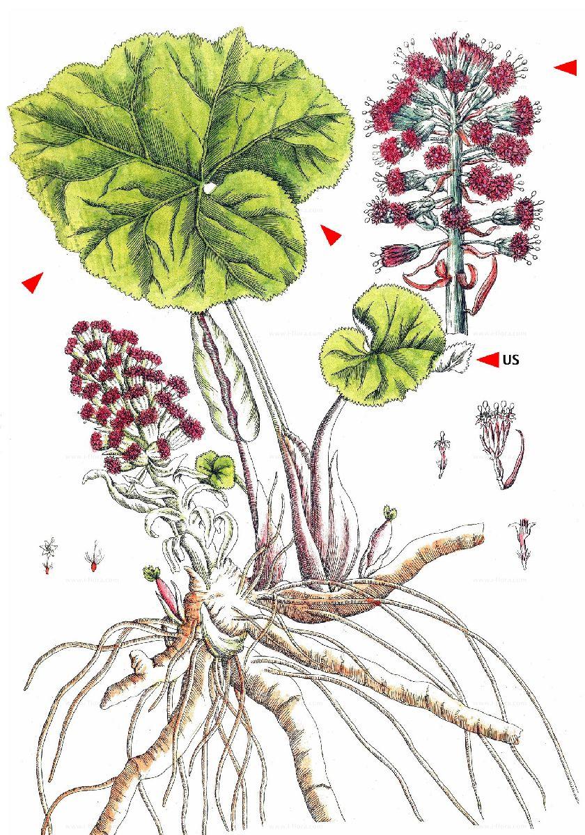 Pestwurz-Petasites hybridus