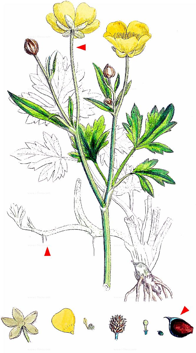 Beliebt Bevorzugt Stammbaum - Kriechender Hahnenfuß (Ranunculus repens L.) @RD_73