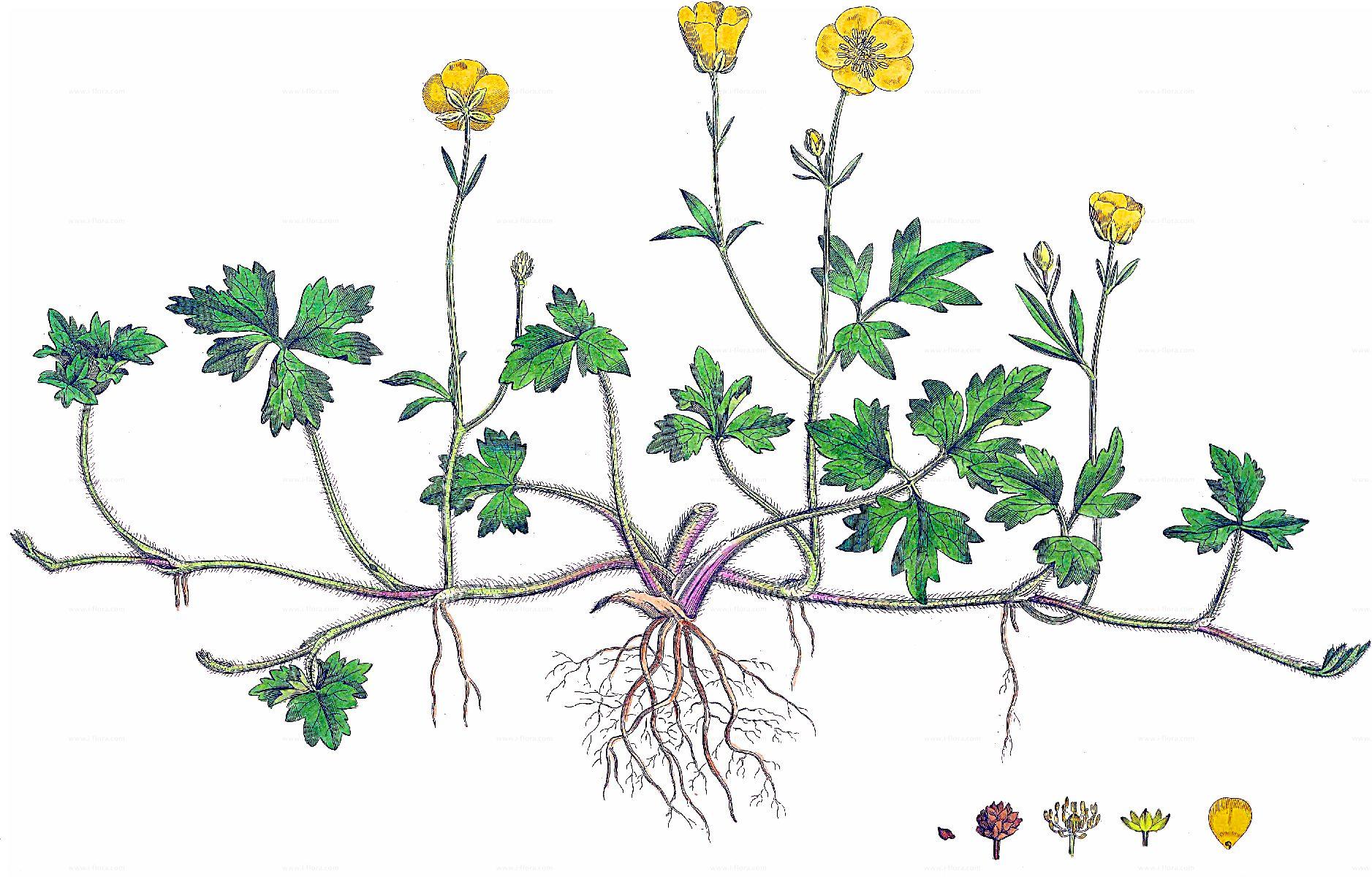 Super Stammbaum - Kriechender Hahnenfuß (Ranunculus repens L.) @XI_47