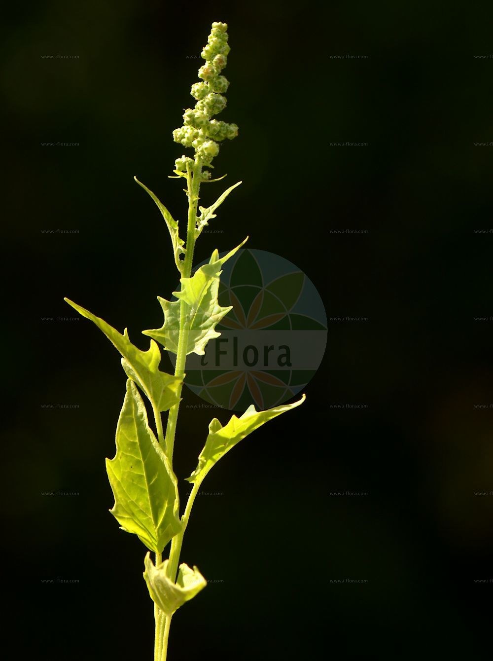 Foto von Chenopodiastrum hybridum (Breitblaettriger Gaensefuss - Maple-leaved Goosefoot). Das Bild zeigt Blatt und Bluete. Das Foto wurde in Wiesloch, Rhein-Neckar-Kreis, Baden-Wuerttemberg, Deutschland, Neckarland aufgenommen. ---- Photo of Chenopodiastrum hybridum (Breitblaettriger Gaensefuss - Maple-leaved Goosefoot).The image is showing leaf and flower.The picture was taken in Wiesloch, Rhein-Neckar district, Baden-Wuerttemberg, Germany, Neckarland.(Chenopodiastrum hybridum,Breitblaettriger Gaensefuss,Maple-leaved Goosefoot,Chenopodium angulosum,Chenopodium hybridum,Bastard-Gaensefuss,Sautod-Gaensefuss,Stechapfelblaettriger Gaensefuss,Bigseed Goosefoot,Maple-leaf Goosefoot,Sowbane,Chenopodiastrum,Amaranthaceae,Fuchsschwanzgewaechse,Pigweed family,Blatt,Bluete,leaf,flower)
