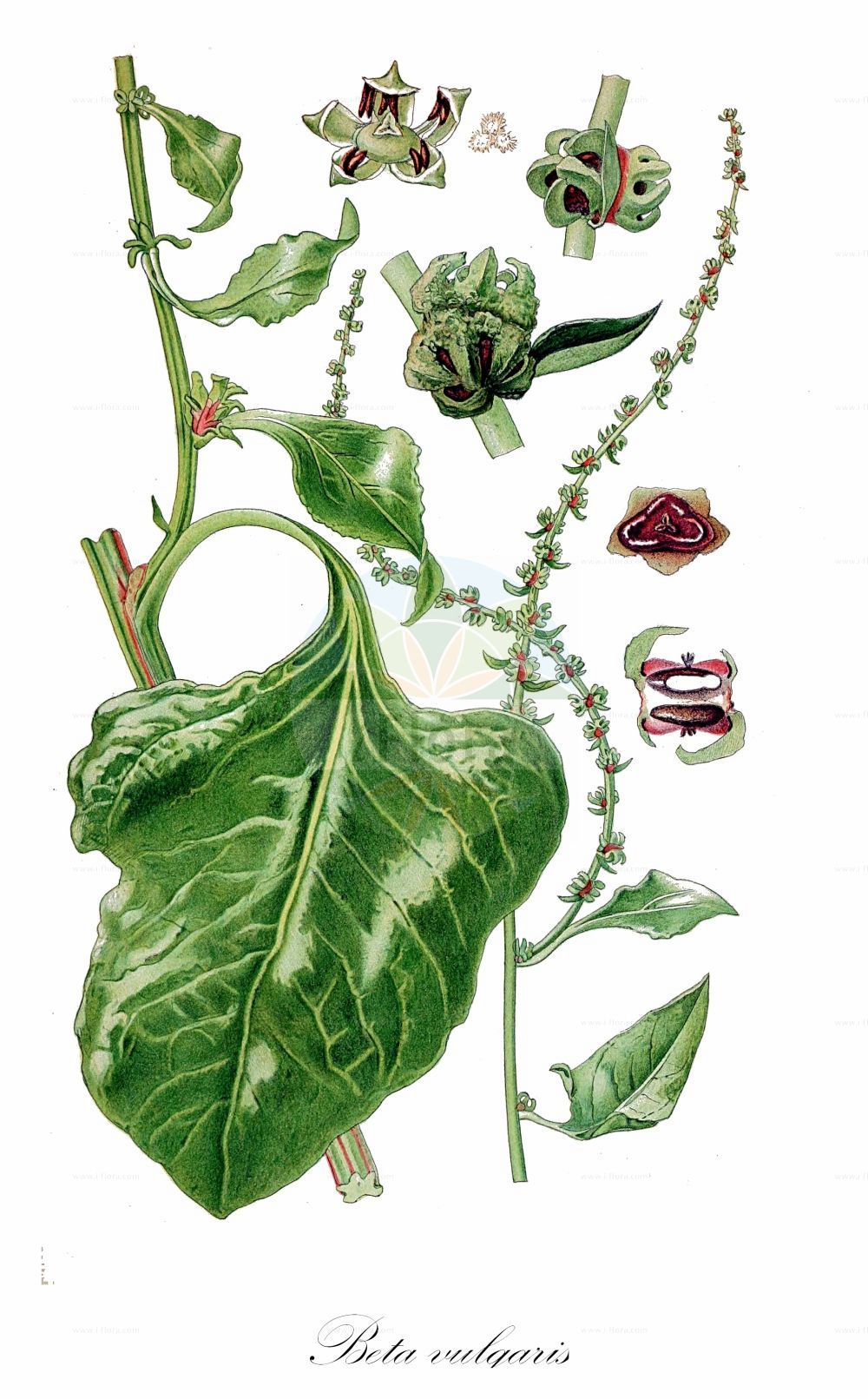 Historische Abbildung von Beta vulgaris (Futter-Ruebe - Beet). Das Bild zeigt Blatt, Bluete, Frucht und Same. ---- Historical Drawing of Beta vulgaris (Futter-Ruebe - Beet).The image is showing leaf, flower, fruit and seed.(Beta vulgaris,Futter-Ruebe,Beet,Beta cicla,Beta crispa,Beta esculenta,Beta sulcata,subsp. esculenta,Beta-Ruebe,Gewoehnliche Ruebe,Mangold,Runkelruebe,Common  & Sea ,Beta,Ruebe,Beet,Amaranthaceae,Fuchsschwanzgewaechse,Pigweed family,Blatt,Bluete,Frucht,Same,leaf,flower,fruit,seed,Lindman (1901-1905))