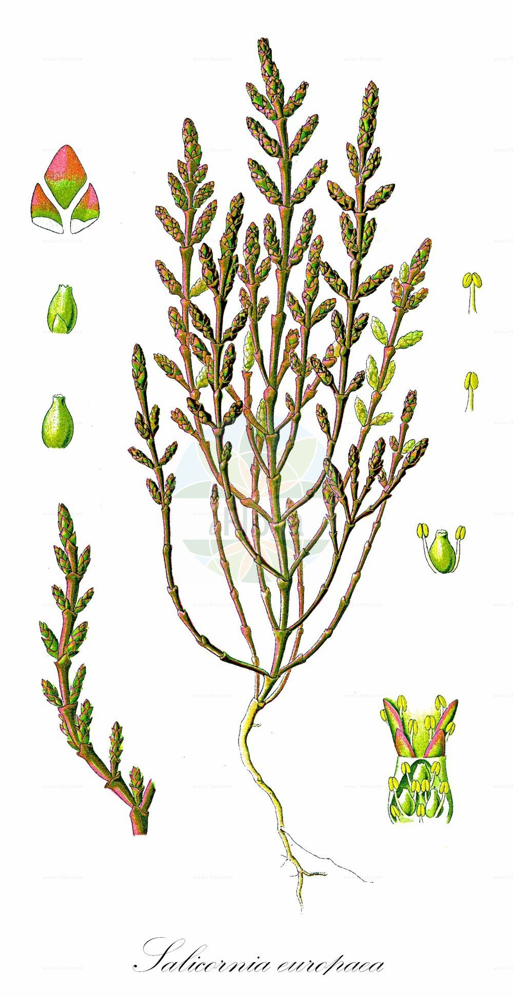 Historische Abbildung von Salicornia europaea (Europaeischer Queller - Common Glasswort). Das Bild zeigt Blatt, Bluete, Frucht und Same. ---- Historical Drawing of Salicornia europaea (Europaeischer Queller - Common Glasswort).The image is showing leaf, flower, fruit and seed.(Salicornia europaea,Europaeischer Queller,Common Glasswort,Salicornia annua,Salicornia herbacea,Gewoehnlicher Queller,Kurzaehren-Queller,Queller,Purple Glasswort,Glaucous Glasswort,Red Swampfire,Slender Grasswort,Salicornia,Queller,Glassworts,Amaranthaceae,Fuchsschwanzgewaechse,Pigweed family,Blatt,Bluete,Frucht,Same,leaf,flower,fruit,seed,Thomé (1885))