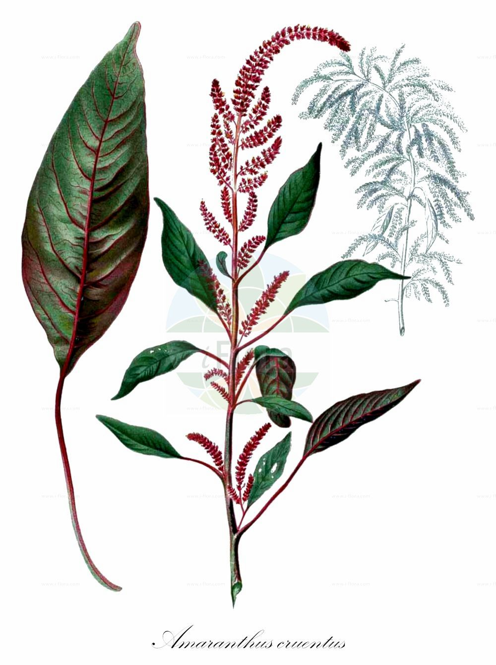 Historische Abbildung von Amaranthus cruentus. Das Bild zeigt Blatt, Bluete, Frucht und Same. ---- Historical Drawing of Amaranthus cruentus.The image is showing leaf, flower, fruit and seed.(Amaranthus cruentus,Amaranthus paniculatus,Amaranthus paniculatus var. cruentus,Amaranthus,Fuchsschwanz,Pigweed,Amaranthaceae,Fuchsschwanzgewaechse,Pigweed family,Blatt,Bluete,Frucht,Same,leaf,flower,fruit,seed,Blanco (1837f))