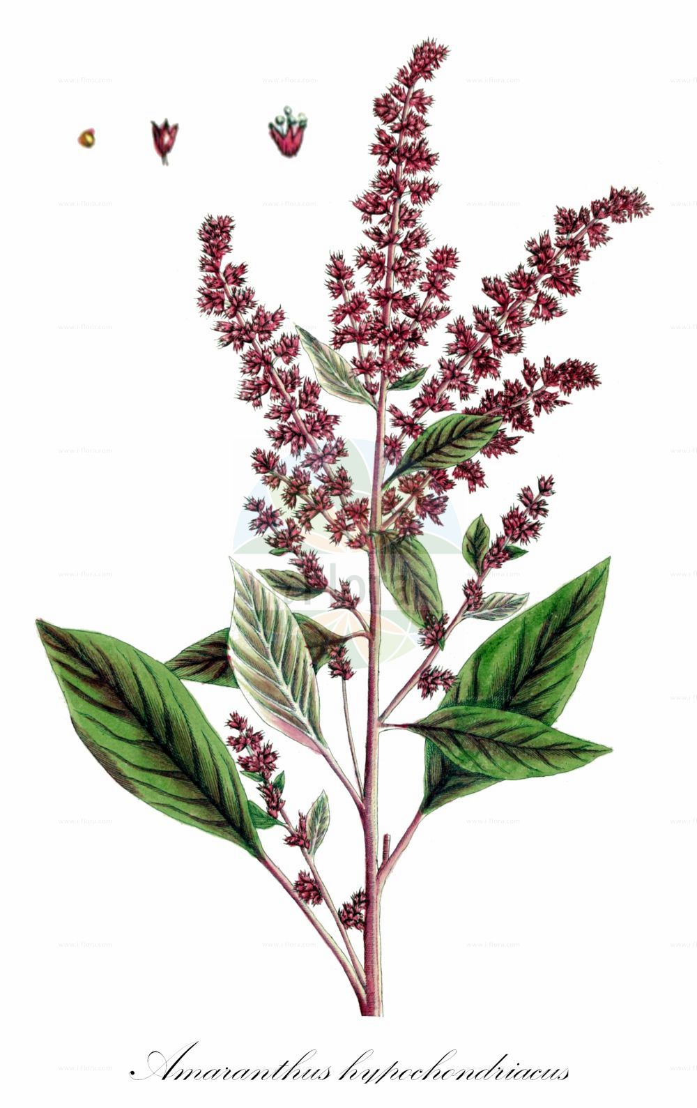 Historische Abbildung von Amaranthus hypochondriacus. Das Bild zeigt Blatt, Bluete, Frucht und Same. ---- Historical Drawing of Amaranthus hypochondriacus.The image is showing leaf, flower, fruit and seed.(Amaranthus hypochondriacus,Amaranthus,Fuchsschwanz,Pigweed,Amaranthaceae,Fuchsschwanzgewaechse,Pigweed family,Blatt,Bluete,Frucht,Same,leaf,flower,fruit,seed,Blackwell (1737-1739))