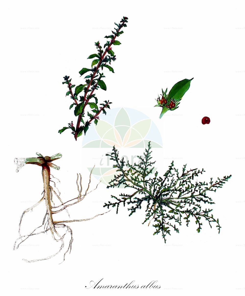 Historische Abbildung von Amaranthus albus (Weisser Fuchsschwanz - White Pigweed). Das Bild zeigt Blatt, Bluete, Frucht und Same. ---- Historical Drawing of Amaranthus albus (Weisser Fuchsschwanz - White Pigweed).The image is showing leaf, flower, fruit and seed.(Amaranthus albus,Weisser Fuchsschwanz,White Pigweed,Glomeraria alba,Weisser Amarant,Prostrate Pigweed,Tumble Amaranth,Mediterranean Amaranth,Tumble Pigweed,Tumbleweed,Tumbleweed Amaranth,Amaranthus,Fuchsschwanz,Pigweed,Amaranthaceae,Fuchsschwanzgewaechse,Pigweed family,Blatt,Bluete,Frucht,Same,leaf,flower,fruit,seed,Kops (1800-1934))