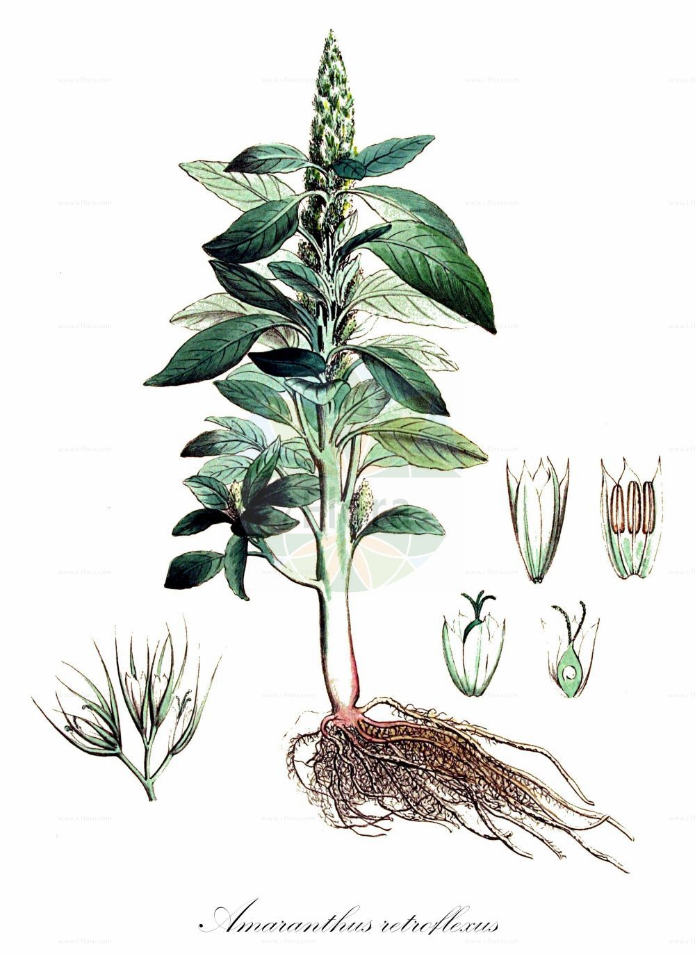 Historische Abbildung von Amaranthus retroflexus (Zurueckgekruemmter Fuchsschwanz - Common Amaranth). Das Bild zeigt Blatt, Bluete, Frucht und Same. ---- Historical Drawing of Amaranthus retroflexus (Zurueckgekruemmter Fuchsschwanz - Common Amaranth).The image is showing leaf, flower, fruit and seed.(Amaranthus retroflexus,Zurueckgekruemmter Fuchsschwanz,Common Amaranth,Amaranthus strictus,Galliaria retroflexa,Zurueckgekruemmter Amarant,Careless Weed,Pigweed,Redroot,Redroot Amaranth,Redroot Pigweed,Slender Pigweed,Wild Amaranth,Amaranthus,Fuchsschwanz,Pigweed,Amaranthaceae,Fuchsschwanzgewaechse,Pigweed family,Blatt,Bluete,Frucht,Same,leaf,flower,fruit,seed,Kops (1800-1934))