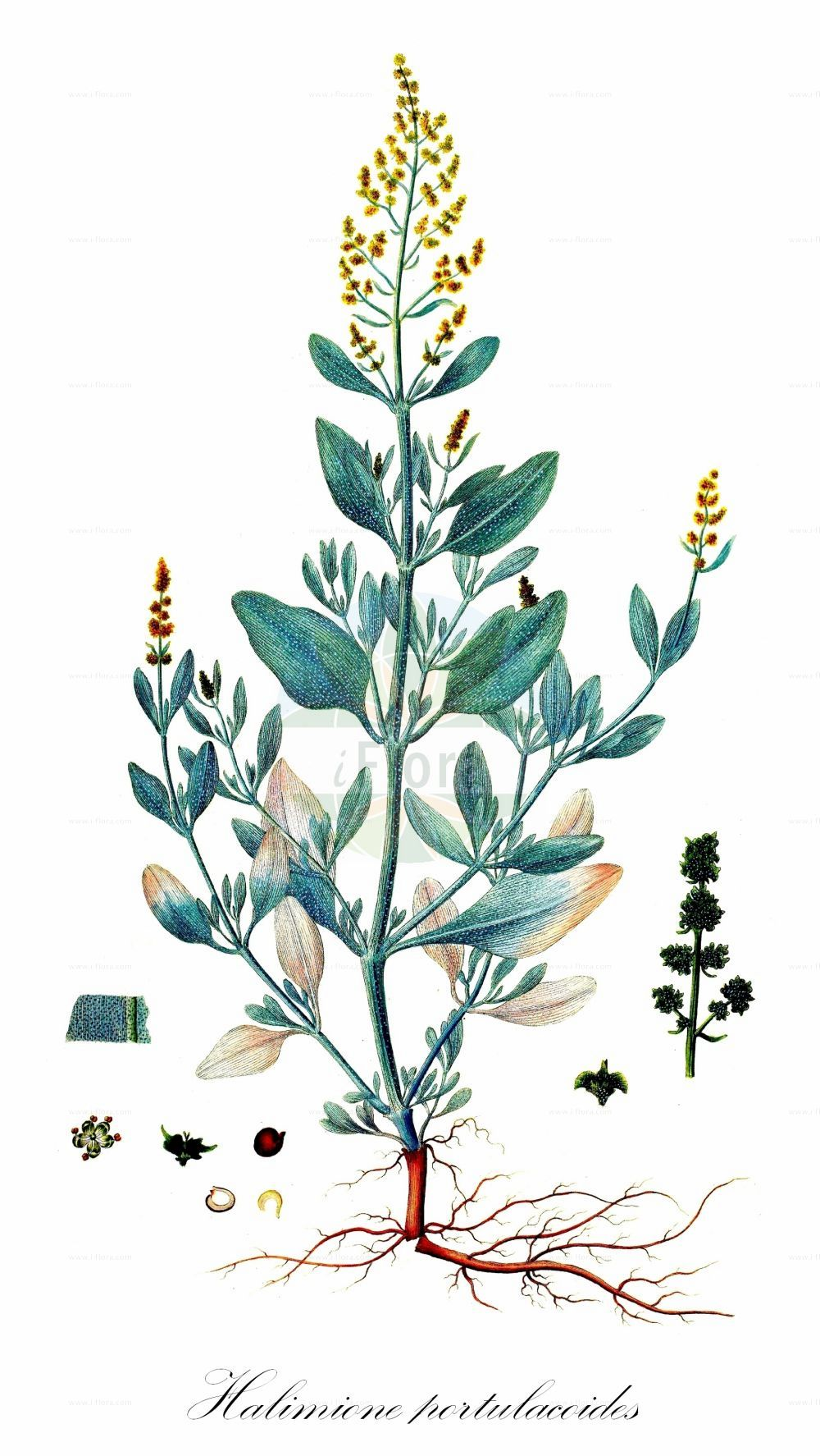 Historische Abbildung von Halimione portulacoides (Portulak-Keilmelde - Sea-purslane). Das Bild zeigt Blatt, Bluete, Frucht und Same. ---- Historical Drawing of Halimione portulacoides (Portulak-Keilmelde - Sea-purslane).The image is showing leaf, flower, fruit and seed.(Halimione portulacoides,Portulak-Keilmelde,Sea-purslane,Atriplex portulacoides,Obione portulacoides,Halimione,Keilmelde,Amaranthaceae,Fuchsschwanzgewaechse,Pigweed family,Blatt,Bluete,Frucht,Same,leaf,flower,fruit,seed,Oeder (1761-1883))