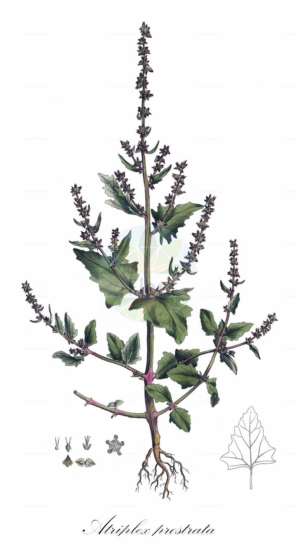 Historische Abbildung von Atriplex prostrata (Spiess-Melde - Spear-leaved Orache). Das Bild zeigt Blatt, Bluete, Frucht und Same. ---- Historical Drawing of Atriplex prostrata (Spiess-Melde - Spear-leaved Orache).The image is showing leaf, flower, fruit and seed.(Atriplex prostrata,Spiess-Melde,Spear-leaved Orache,Atriplex deltoidea,Atriplex latifolia,Atriplex oppositifolia,Atriplex platysepala,Atriplex polonica,Atriplex triangularis,Spiessblaettrige Melde,Hastate Orache,Halberd-leaf Orache,Thin-leaved Orache,Mountain Spinach,Triangle Orache,Wild Orache,Atriplex,Melde,Saltbush,Amaranthaceae,Fuchsschwanzgewaechse,Pigweed family,Blatt,Bluete,Frucht,Same,leaf,flower,fruit,seed,Curtis (1777-1798))