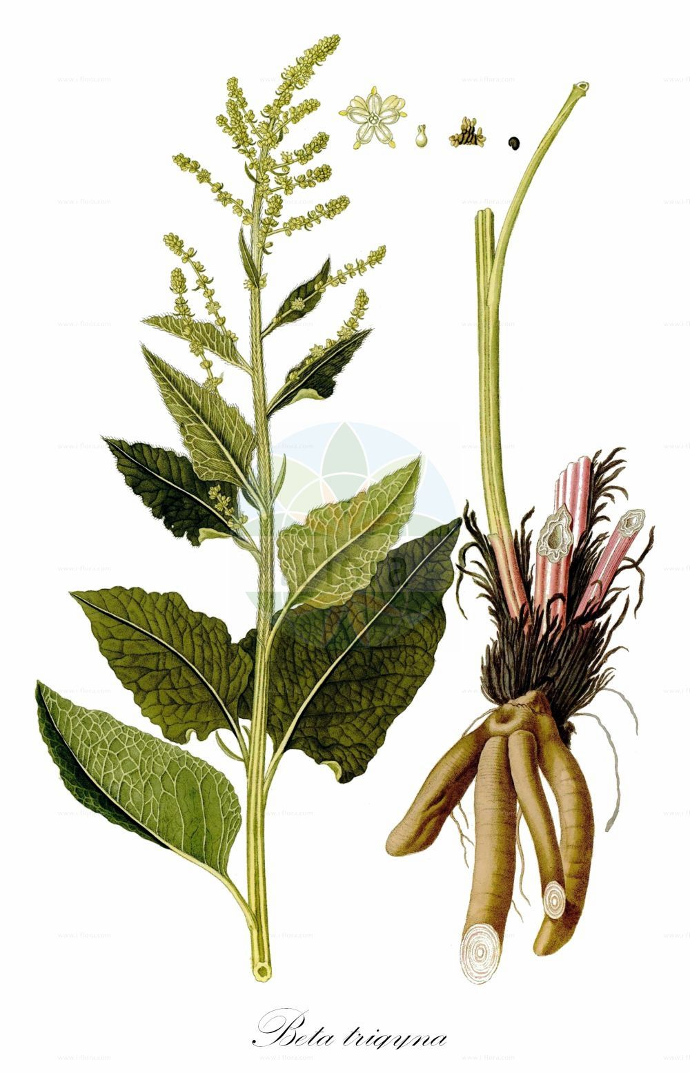Historische Abbildung von Beta trigyna. Das Bild zeigt Blatt, Bluete, Frucht und Same. ---- Historical Drawing of Beta trigyna.The image is showing leaf, flower, fruit and seed.(Beta trigyna,Beta hybrida,Beta intermedia,,Beta,Ruebe,Beet,Amaranthaceae,Fuchsschwanzgewaechse,Pigweed family,Blatt,Bluete,Frucht,Same,leaf,flower,fruit,seed,Waldstein-Wartenberg & Kitaibel (1799-1812))