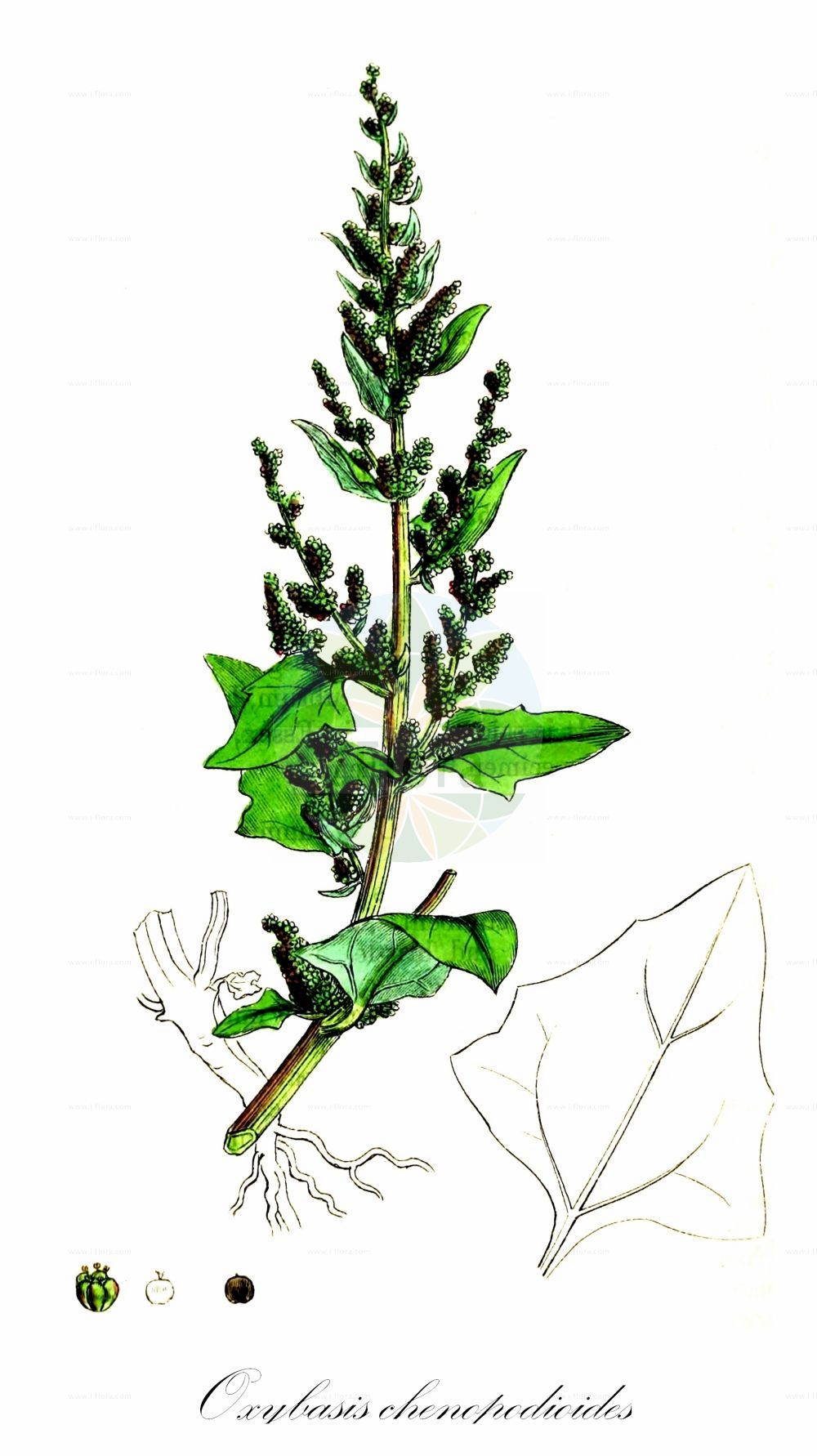 Historische Abbildung von Oxybasis chenopodioides (Dickblaettriger Gaensefuss - Saltmarsh Goosefoot). Das Bild zeigt Blatt, Bluete, Frucht und Same. ---- Historical Drawing of Oxybasis chenopodioides (Dickblaettriger Gaensefuss - Saltmarsh Goosefoot).The image is showing leaf, flower, fruit and seed.(Oxybasis chenopodioides,Dickblaettriger Gaensefuss,Saltmarsh Goosefoot,Blitum chenopodioides,Chenopodium botryodes,Chenopodium chenopodioides,Chenopodium crassifolium,,Dickblatt-Gaensefuss,Low Goosefoot,Sea Goosefoot,Oxybasis,Amaranthaceae,Fuchsschwanzgewaechse,Pigweed family,Blatt,Bluete,Frucht,Same,leaf,flower,fruit,seed,Sowerby (1790-1813))