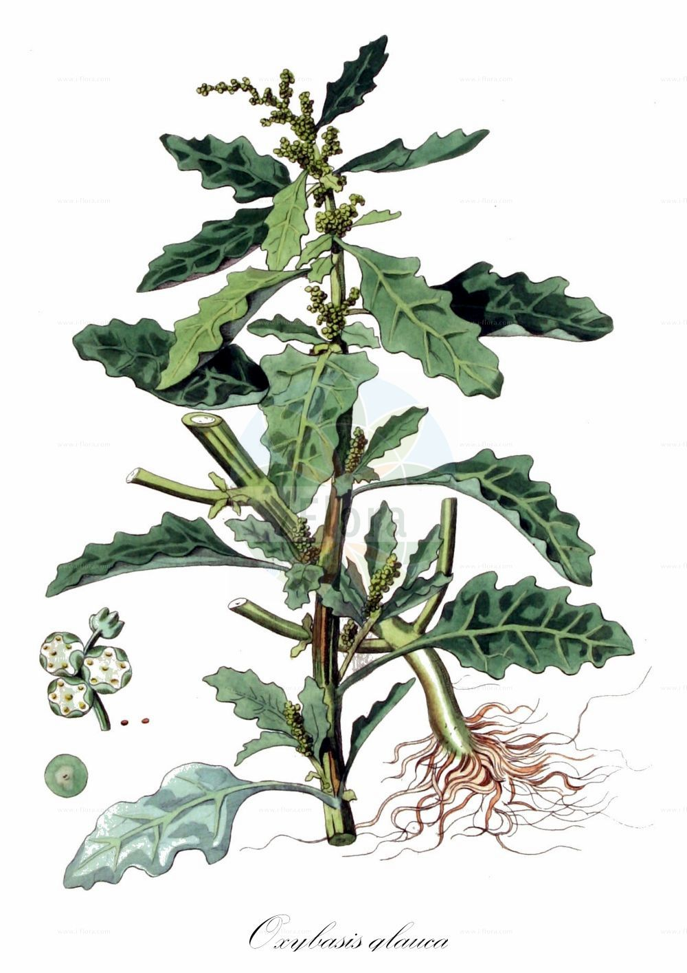 Historische Abbildung von Oxybasis glauca (Graugruener Gaensefuss - Oak-leaved Goosefoot). Das Bild zeigt Blatt, Bluete, Frucht und Same. ---- Historical Drawing of Oxybasis glauca (Graugruener Gaensefuss - Oak-leaved Goosefoot).The image is showing leaf, flower, fruit and seed.(Oxybasis glauca,Graugruener Gaensefuss,Oak-leaved Goosefoot,Chenopodium glaucum,Chenopodium wolffii,,Grauer Gaensefuss,Glaucous Goosefoot,Oak-leaf Goosefoot,Oxybasis,Amaranthaceae,Fuchsschwanzgewaechse,Pigweed family,Blatt,Bluete,Frucht,Same,leaf,flower,fruit,seed,Kops (1800-1934))