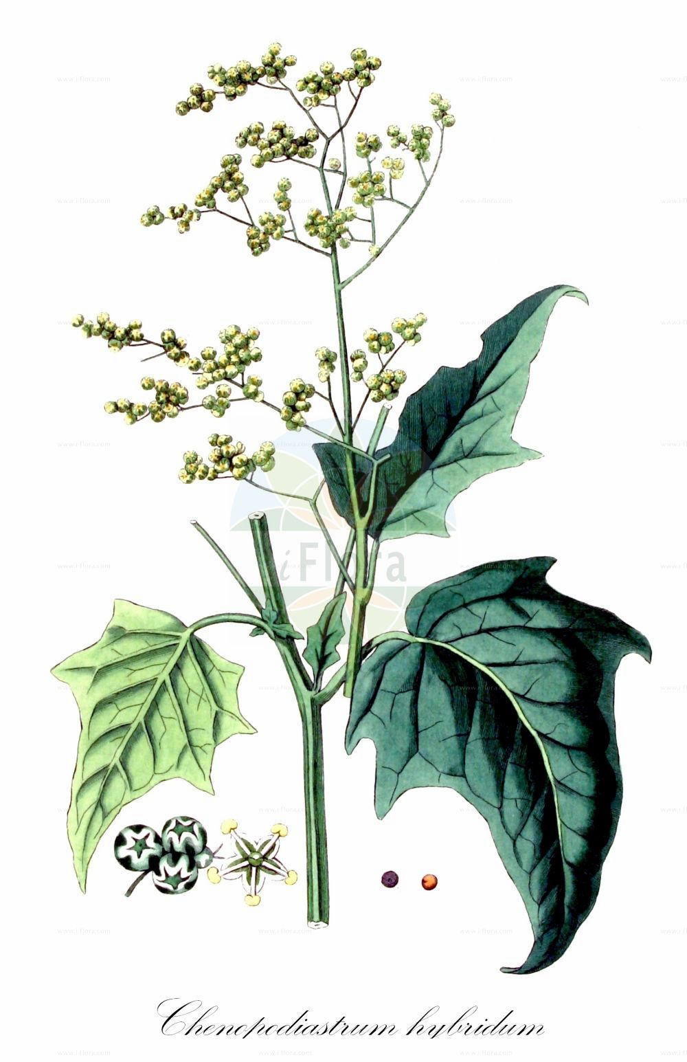 Historische Abbildung von Chenopodiastrum hybridum (Breitblaettriger Gaensefuss - Maple-leaved Goosefoot). Das Bild zeigt Blatt, Bluete, Frucht und Same. ---- Historical Drawing of Chenopodiastrum hybridum (Breitblaettriger Gaensefuss - Maple-leaved Goosefoot).The image is showing leaf, flower, fruit and seed.(Chenopodiastrum hybridum,Breitblaettriger Gaensefuss,Maple-leaved Goosefoot,Chenopodium angulosum,Chenopodium hybridum,Bastard-Gaensefuss,Sautod-Gaensefuss,Stechapfelblaettriger Gaensefuss,Bigseed Goosefoot,Maple-leaf Goosefoot,Sowbane,Chenopodiastrum,Amaranthaceae,Fuchsschwanzgewaechse,Pigweed family,Blatt,Bluete,Frucht,Same,leaf,flower,fruit,seed,Kops (1800-1934))