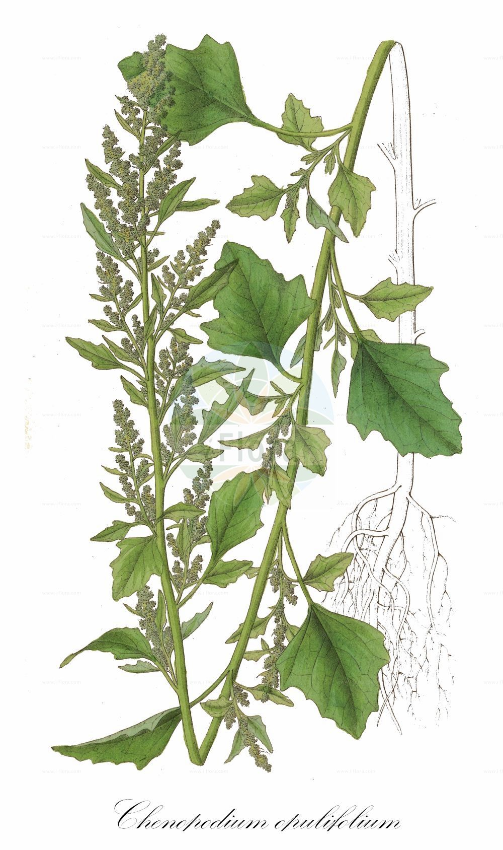 Historische Abbildung von Chenopodium opulifolium (Schneeballblaettriger Gaensefuss - Grey Goosefoot). Das Bild zeigt Blatt, Bluete, Frucht und Same. ---- Historical Drawing of Chenopodium opulifolium (Schneeballblaettriger Gaensefuss - Grey Goosefoot).The image is showing leaf, flower, fruit and seed.(Chenopodium opulifolium,Schneeballblaettriger Gaensefuss,Grey Goosefoot,Seaport Goosefoot,Round-leaved Goosefoot,Chenopodium,Gaensefuss,Goosefoot,Amaranthaceae,Fuchsschwanzgewaechse,Pigweed family,Blatt,Bluete,Frucht,Same,leaf,flower,fruit,seed,Dietrich (1833-1844))