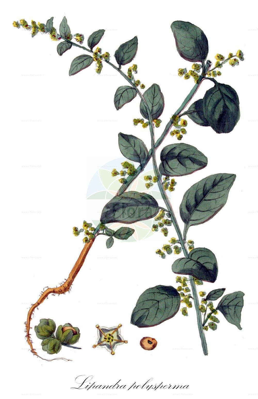 Historische Abbildung von Lipandra polysperma (Vielsamiger Gaensefuss - Many-seeded Goosefoot). Das Bild zeigt Blatt, Bluete, Frucht und Same. ---- Historical Drawing of Lipandra polysperma (Vielsamiger Gaensefuss - Many-seeded Goosefoot).The image is showing leaf, flower, fruit and seed.(Lipandra polysperma,Vielsamiger Gaensefuss,Many-seeded Goosefoot,Chenopodium acutifolium,Chenopodium polyspermum,,Allseed,Manyseed Goosefoot,Lipandra,Amaranthaceae,Fuchsschwanzgewaechse,Pigweed family,Blatt,Bluete,Frucht,Same,leaf,flower,fruit,seed,Kops (1800-1934))