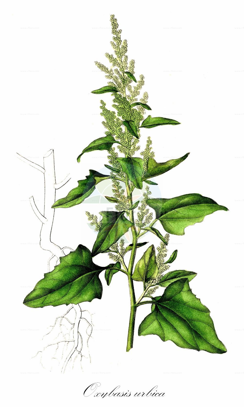 Historische Abbildung von Oxybasis urbica (Keilblaettriger Strassen-Gaensefuss - Upright Goosefoot). Das Bild zeigt Blatt, Bluete, Frucht und Same. ---- Historical Drawing of Oxybasis urbica (Keilblaettriger Strassen-Gaensefuss - Upright Goosefoot).The image is showing leaf, flower, fruit and seed.(Oxybasis urbica,Keilblaettriger Strassen-Gaensefuss,Upright Goosefoot,Chenopodium deltoideum,Chenopodium intermedium,Chenopodium melanospermum,Chenopodium rhombifolium,Chenopodium urbicum,,Gewoehnlicher Strassen-Gaensefuss,Stadt-Gaensefuss,Strassen-Gaensefuss,City Goosefoot,Triangular-leaved Goosefoot,Oxybasis,Amaranthaceae,Fuchsschwanzgewaechse,Pigweed family,Blatt,Bluete,Frucht,Same,leaf,flower,fruit,seed,Dietrich (1833-1844))