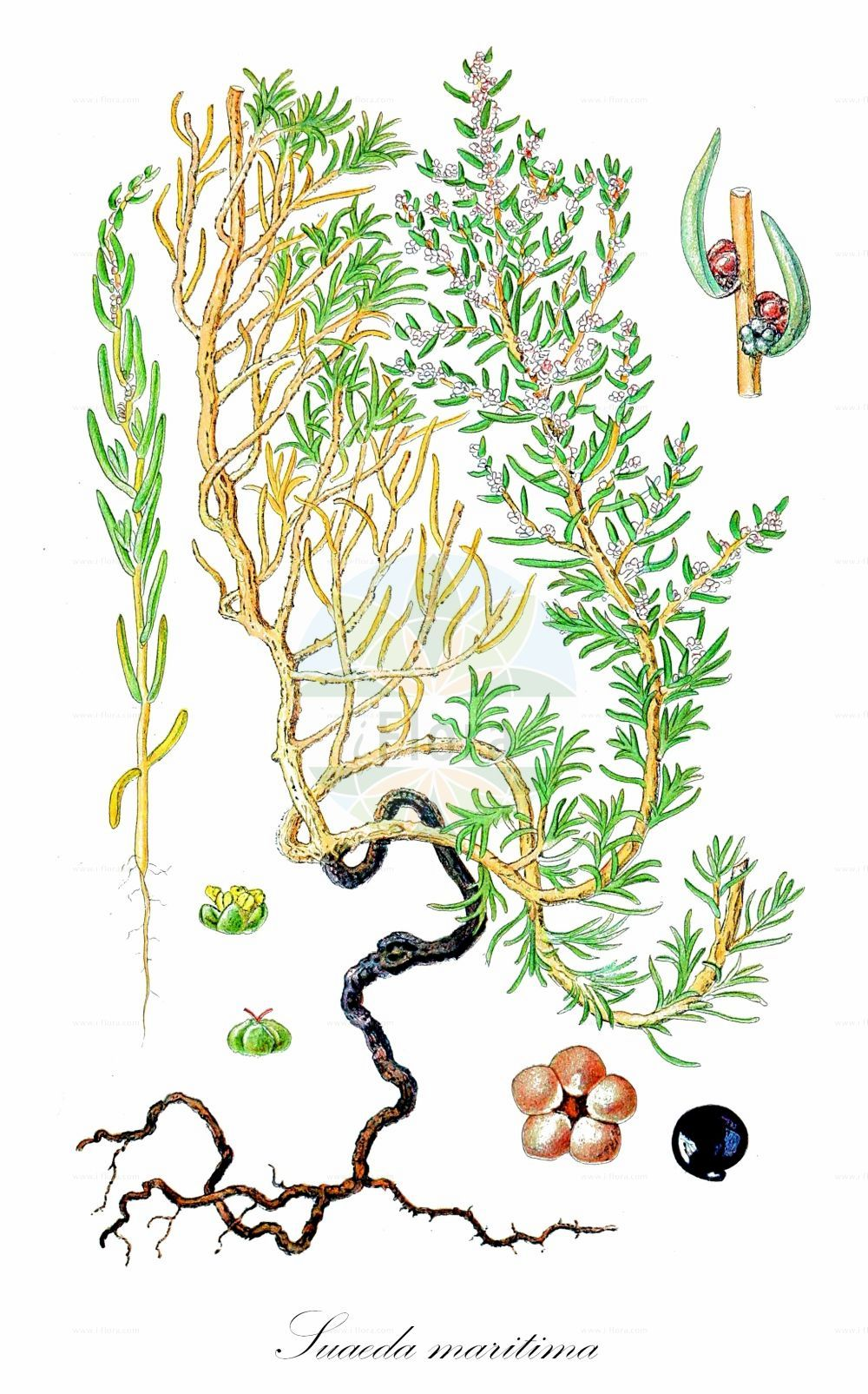 Historische Abbildung von Suaeda maritima (Strandsode - Annual Sea-blite). Das Bild zeigt Blatt, Bluete, Frucht und Same. ---- Historical Drawing of Suaeda maritima (Strandsode - Annual Sea-blite).The image is showing leaf, flower, fruit and seed.(Suaeda maritima,Strandsode,Annual Sea-blite,Chenopodium maritimum,Suaeda cavanillesiana,Suaeda jacquinii,,Chenopodium maritimum L.,Herbaceous Seepweed,Atlantic Sea-blite,Salt Goosefoot,Suaeda,Sode,Sea-blite,Amaranthaceae,Fuchsschwanzgewaechse,Pigweed family,Blatt,Bluete,Frucht,Same,leaf,flower,fruit,seed,Lindman (1901-1905))