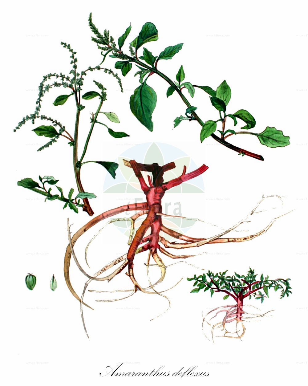 Historische Abbildung von Amaranthus deflexus (Liegender Fuchsschwanz - Perennial Pigweed). Das Bild zeigt Blatt, Bluete, Frucht und Same. ---- Historical Drawing of Amaranthus deflexus (Liegender Fuchsschwanz - Perennial Pigweed).The image is showing leaf, flower, fruit and seed.(Amaranthus deflexus,Liegender Fuchsschwanz,Perennial Pigweed,Albersia deflexa,Amaranthus prostratus,Euxolus deflexus,Glomeraria deflexa,Herabgebogener Fuchsschwanz,Niederliegender Fuchsschwanz,Argentina Amaranth,Large-fruit Amaranth,Low Amaranth,Prostrate Amaranth,Spreading Amaranth,Amaranthus,Fuchsschwanz,Pigweed,Amaranthaceae,Fuchsschwanzgewaechse,Pigweed family,Blatt,Bluete,Frucht,Same,leaf,flower,fruit,seed,Kops (1800-1934))