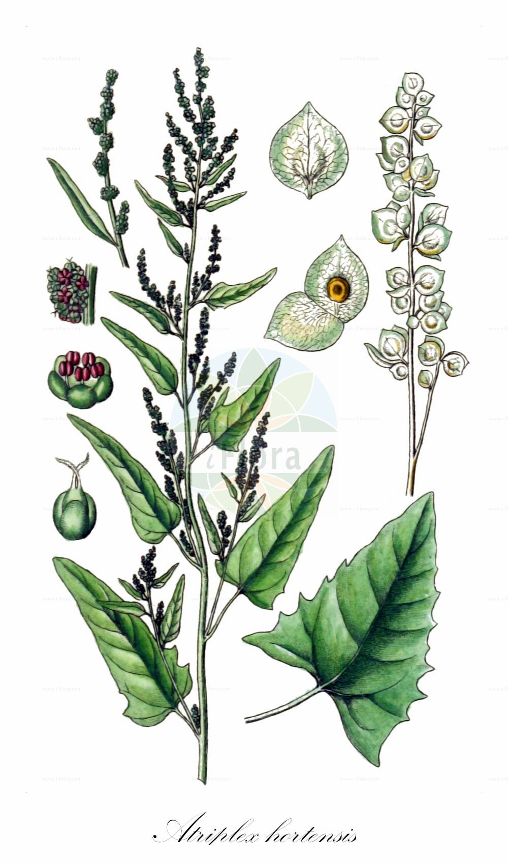 Historische Abbildung von Atriplex hortensis (Garten-Melde - Garden Orache). Das Bild zeigt Blatt, Bluete, Frucht und Same. ---- Historical Drawing of Atriplex hortensis (Garten-Melde - Garden Orache).The image is showing leaf, flower, fruit and seed.(Atriplex hortensis,Garten-Melde,Garden Orache,Atriplex microtheca,Atriplex,Melde,Saltbush,Amaranthaceae,Fuchsschwanzgewaechse,Pigweed family,Blatt,Bluete,Frucht,Same,leaf,flower,fruit,seed,Sturm (1796f))