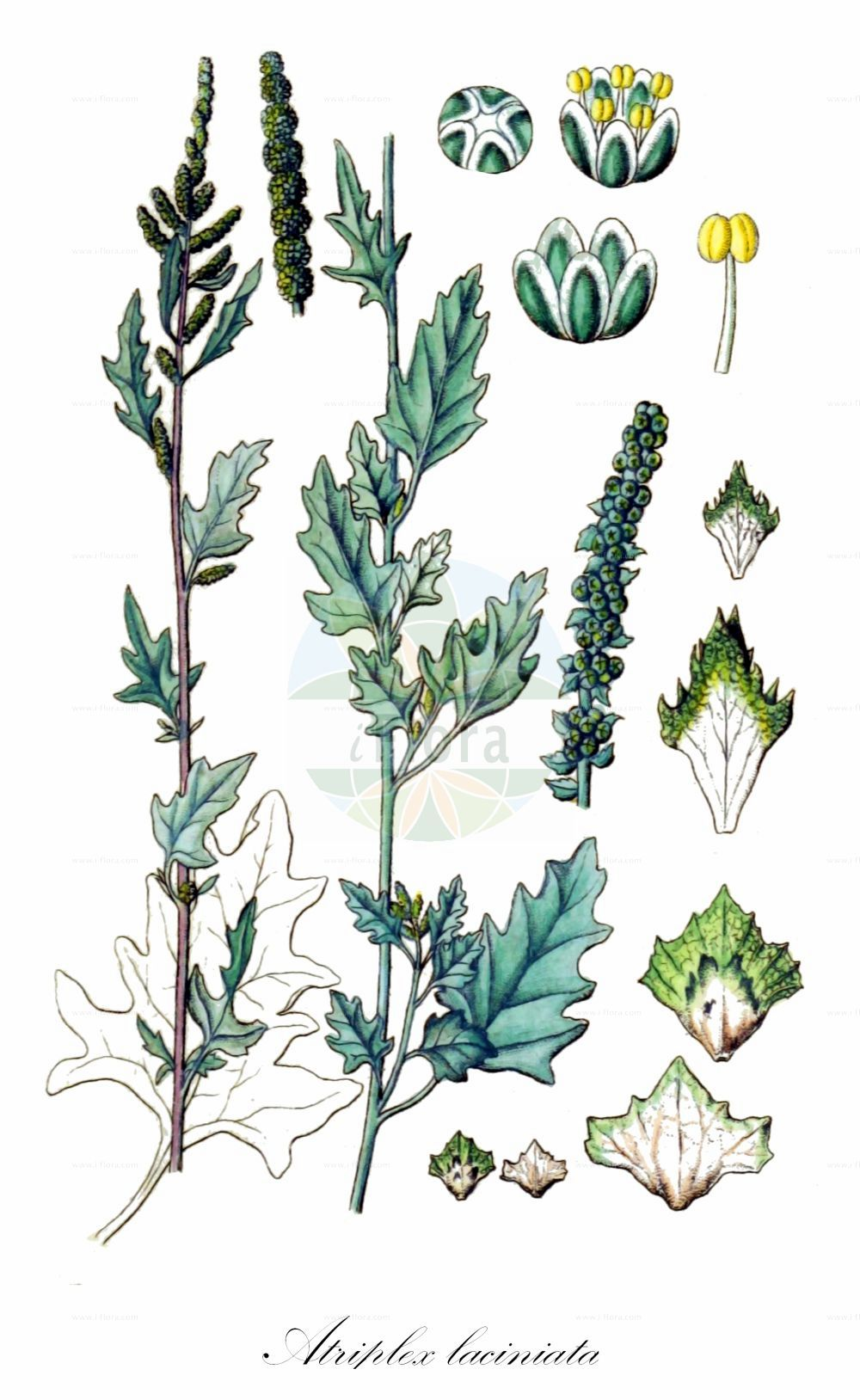 Historische Abbildung von Atriplex laciniata (Gelappte Melde - Frosted Orache). Das Bild zeigt Blatt, Bluete, Frucht und Same. ---- Historical Drawing of Atriplex laciniata (Gelappte Melde - Frosted Orache).The image is showing leaf, flower, fruit and seed.(Atriplex laciniata,Gelappte Melde,Frosted Orache,Atriplex arenaria,Atriplex maritima,Atriplex sabulosa,Atriplex,Melde,Saltbush,Amaranthaceae,Fuchsschwanzgewaechse,Pigweed family,Blatt,Bluete,Frucht,Same,leaf,flower,fruit,seed,Sturm (1796f))