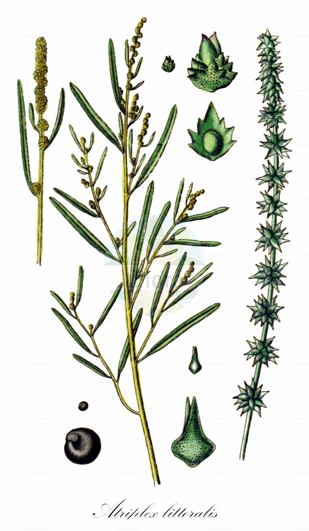 Historische Abbildung von Atriplex littoralis (Strand-Melde - Grass-leaved Orache). Das Bild zeigt Blatt, Bluete, Frucht und Same. ---- Historical Drawing of Atriplex littoralis (Strand-Melde - Grass-leaved Orache).The image is showing leaf, flower, fruit and seed.(Atriplex littoralis,Strand-Melde,Grass-leaved Orache,Atriplex serrata,Crested Saltbush,Grassleaf Orache,Shore Orache,Atriplex,Melde,Saltbush,Amaranthaceae,Fuchsschwanzgewaechse,Pigweed family,Blatt,Bluete,Frucht,Same,leaf,flower,fruit,seed,Sturm (1796f))