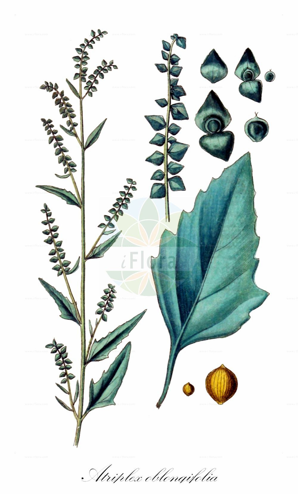 Historische Abbildung von Atriplex oblongifolia (Langblaettrige Melde - Oblongleaf Orache). Das Bild zeigt Blatt, Bluete, Frucht und Same. ---- Historical Drawing of Atriplex oblongifolia (Langblaettrige Melde - Oblongleaf Orache).The image is showing leaf, flower, fruit and seed.(Atriplex oblongifolia,Langblaettrige Melde,Oblongleaf Orache,Atriplex,Melde,Saltbush,Amaranthaceae,Fuchsschwanzgewaechse,Pigweed family,Blatt,Bluete,Frucht,Same,leaf,flower,fruit,seed,Sturm (1796f))