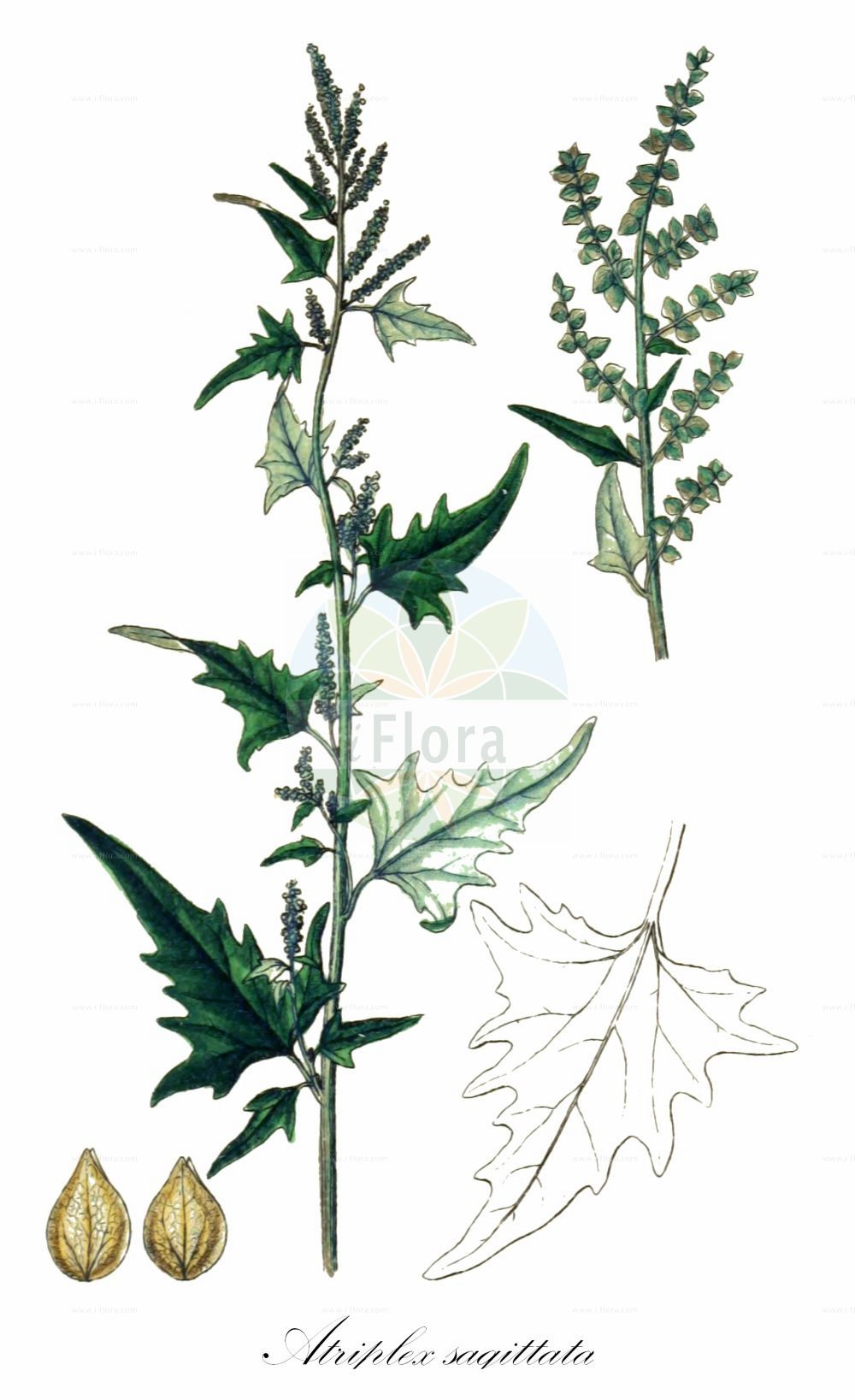 Historische Abbildung von Atriplex sagittata (Glanz-Melde - Purple Orache). Das Bild zeigt Blatt, Bluete, Frucht und Same. ---- Historical Drawing of Atriplex sagittata (Glanz-Melde - Purple Orache).The image is showing leaf, flower, fruit and seed.(Atriplex sagittata,Glanz-Melde,Purple Orache,Atriplex acuminata,Atriplex nitens,,Atriplex,Melde,Saltbush,Amaranthaceae,Fuchsschwanzgewaechse,Pigweed family,Blatt,Bluete,Frucht,Same,leaf,flower,fruit,seed,Sturm (1796f))