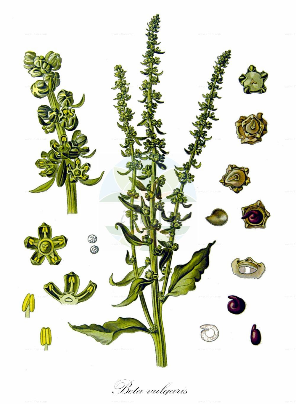 Historische Abbildung von Beta vulgaris (Futter-Ruebe - Beet). Das Bild zeigt Blatt, Bluete, Frucht und Same. ---- Historical Drawing of Beta vulgaris (Futter-Ruebe - Beet).The image is showing leaf, flower, fruit and seed.(Beta vulgaris,Futter-Ruebe,Beet,Beta cicla,Beta crispa,Beta esculenta,Beta sulcata,subsp. esculenta,Beta-Ruebe,Gewoehnliche Ruebe,Mangold,Runkelruebe,Common  & Sea ,Beta,Ruebe,Beet,Amaranthaceae,Fuchsschwanzgewaechse,Pigweed family,Blatt,Bluete,Frucht,Same,leaf,flower,fruit,seed,Koehler (1883-1898))