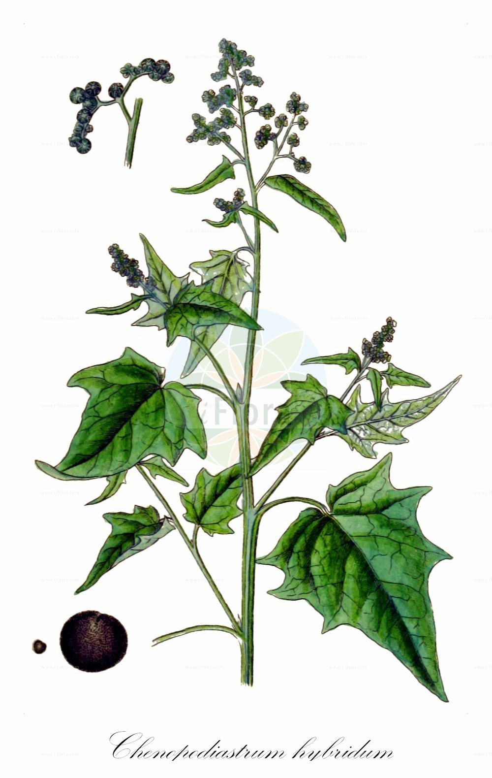Historische Abbildung von Chenopodiastrum hybridum (Breitblaettriger Gaensefuss - Maple-leaved Goosefoot). Das Bild zeigt Blatt, Bluete, Frucht und Same. ---- Historical Drawing of Chenopodiastrum hybridum (Breitblaettriger Gaensefuss - Maple-leaved Goosefoot).The image is showing leaf, flower, fruit and seed.(Chenopodiastrum hybridum,Breitblaettriger Gaensefuss,Maple-leaved Goosefoot,Chenopodium angulosum,Chenopodium hybridum,Bastard-Gaensefuss,Sautod-Gaensefuss,Stechapfelblaettriger Gaensefuss,Bigseed Goosefoot,Maple-leaf Goosefoot,Sowbane,Chenopodiastrum,Amaranthaceae,Fuchsschwanzgewaechse,Pigweed family,Blatt,Bluete,Frucht,Same,leaf,flower,fruit,seed,Sturm (1796f))