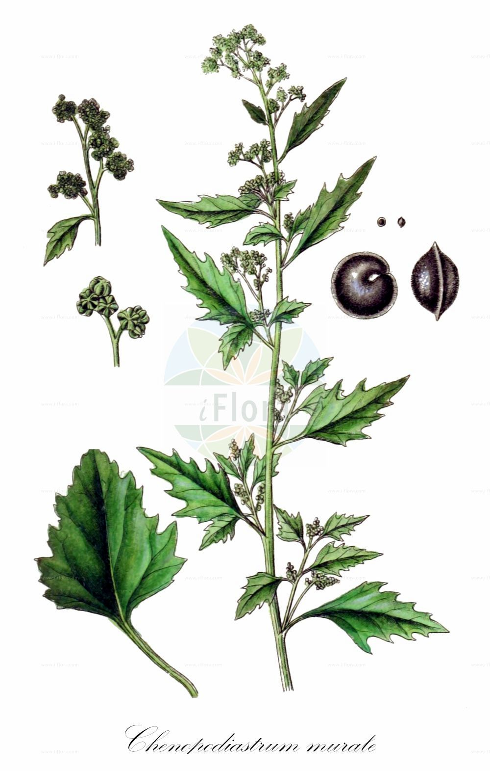 Historische Abbildung von Chenopodiastrum murale (Mauer-Gaensefuss - Nettle-leaved Goosefoot). Das Bild zeigt Blatt, Bluete, Frucht und Same. ---- Historical Drawing of Chenopodiastrum murale (Mauer-Gaensefuss - Nettle-leaved Goosefoot).The image is showing leaf, flower, fruit and seed.(Chenopodiastrum murale,Mauer-Gaensefuss,Nettle-leaved Goosefoot,Chenopodium murale,Nettle-leaf Goosefoot,Nettle-leaved Fat-Hen,Wall Goosefoot,Chenopodiastrum,Amaranthaceae,Fuchsschwanzgewaechse,Pigweed family,Blatt,Bluete,Frucht,Same,leaf,flower,fruit,seed,Sturm (1796f))