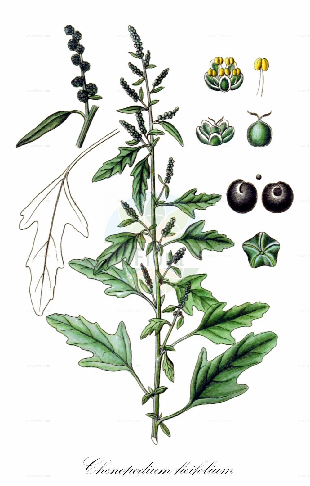 Historische Abbildung von Chenopodium ficifolium (Feigenblaettriger Gaensefuss - Fig-leaved Goosefoot). Das Bild zeigt Blatt, Bluete, Frucht und Same. ---- Historical Drawing of Chenopodium ficifolium (Feigenblaettriger Gaensefuss - Fig-leaved Goosefoot).The image is showing leaf, flower, fruit and seed.(Chenopodium ficifolium,Feigenblaettriger Gaensefuss,Fig-leaved Goosefoot,Figleaf Goosefoot,Chenopodium,Gaensefuss,Goosefoot,Amaranthaceae,Fuchsschwanzgewaechse,Pigweed family,Blatt,Bluete,Frucht,Same,leaf,flower,fruit,seed,Sturm (1796f))