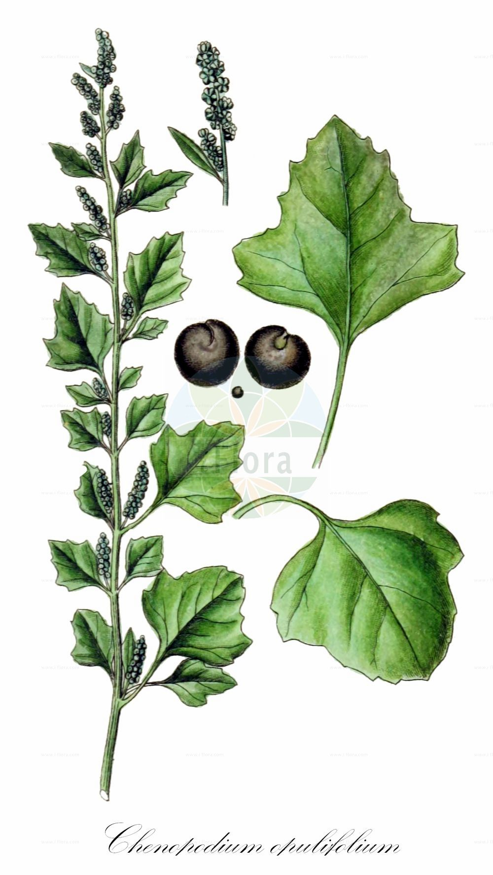 Historische Abbildung von Chenopodium opulifolium (Schneeballblaettriger Gaensefuss - Grey Goosefoot). Das Bild zeigt Blatt, Bluete, Frucht und Same. ---- Historical Drawing of Chenopodium opulifolium (Schneeballblaettriger Gaensefuss - Grey Goosefoot).The image is showing leaf, flower, fruit and seed.(Chenopodium opulifolium,Schneeballblaettriger Gaensefuss,Grey Goosefoot,Seaport Goosefoot,Round-leaved Goosefoot,Chenopodium,Gaensefuss,Goosefoot,Amaranthaceae,Fuchsschwanzgewaechse,Pigweed family,Blatt,Bluete,Frucht,Same,leaf,flower,fruit,seed,Sturm (1796f))