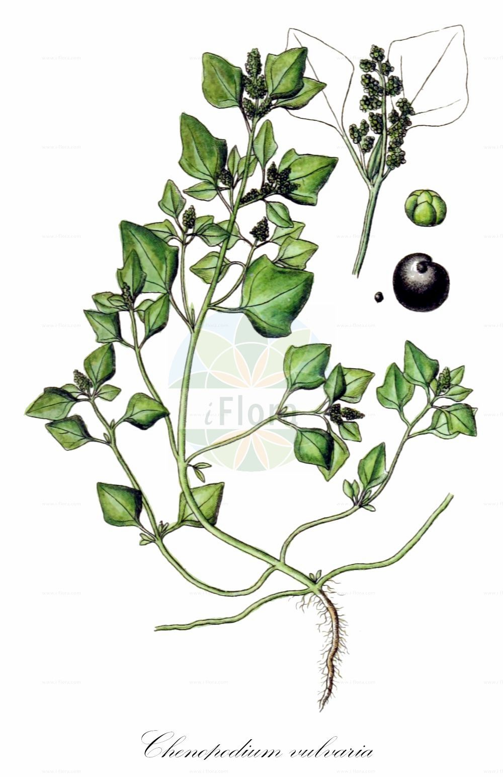 Historische Abbildung von Chenopodium vulvaria (Stinkender Gaensefuss - Stinking Goosefoot). Das Bild zeigt Blatt, Bluete, Frucht und Same. ---- Historical Drawing of Chenopodium vulvaria (Stinkender Gaensefuss - Stinking Goosefoot).The image is showing leaf, flower, fruit and seed.(Chenopodium vulvaria,Stinkender Gaensefuss,Stinking Goosefoot,Chenopodium foetidum,Chenopodium olidum,,Chenopodium,Gaensefuss,Goosefoot,Amaranthaceae,Fuchsschwanzgewaechse,Pigweed family,Blatt,Bluete,Frucht,Same,leaf,flower,fruit,seed,Sturm (1796f))