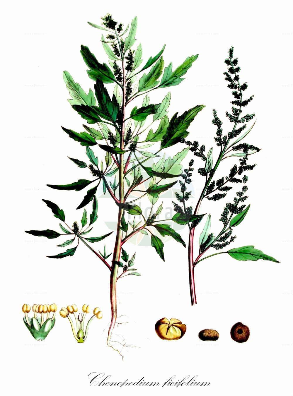 Historische Abbildung von Chenopodium ficifolium (Feigenblaettriger Gaensefuss - Fig-leaved Goosefoot). Das Bild zeigt Blatt, Bluete, Frucht und Same. ---- Historical Drawing of Chenopodium ficifolium (Feigenblaettriger Gaensefuss - Fig-leaved Goosefoot).The image is showing leaf, flower, fruit and seed.(Chenopodium ficifolium,Feigenblaettriger Gaensefuss,Fig-leaved Goosefoot,Figleaf Goosefoot,Chenopodium,Gaensefuss,Goosefoot,Amaranthaceae,Fuchsschwanzgewaechse,Pigweed family,Blatt,Bluete,Frucht,Same,leaf,flower,fruit,seed,Kops (1800-1934))
