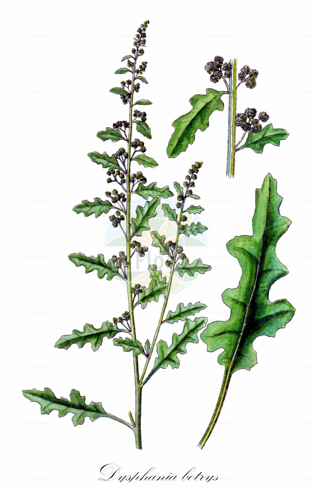 Historische Abbildung von Dysphania botrys (Klebriger Druesengaensefuss - Sticky Goosefoot). Das Bild zeigt Blatt, Bluete, Frucht und Same. ---- Historical Drawing of Dysphania botrys (Klebriger Druesengaensefuss - Sticky Goosefoot).The image is showing leaf, flower, fruit and seed.(Dysphania botrys,Klebriger Druesengaensefuss,Sticky Goosefoot,Chenopodium botrys,,Druesen-Gaensefuss,Klebriger Gaensefuss,Jerusalem-oak Goosefoot,Dysphania,Druesengaensefuss,Goosefoot,Amaranthaceae,Fuchsschwanzgewaechse,Pigweed family,Blatt,Bluete,Frucht,Same,leaf,flower,fruit,seed,Sturm (1796f))