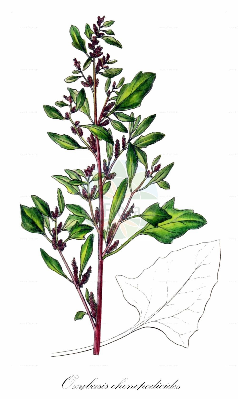 Historische Abbildung von Oxybasis chenopodioides (Dickblaettriger Gaensefuss - Saltmarsh Goosefoot). Das Bild zeigt Blatt, Bluete, Frucht und Same. ---- Historical Drawing of Oxybasis chenopodioides (Dickblaettriger Gaensefuss - Saltmarsh Goosefoot).The image is showing leaf, flower, fruit and seed.(Oxybasis chenopodioides,Dickblaettriger Gaensefuss,Saltmarsh Goosefoot,Blitum chenopodioides,Chenopodium botryodes,Chenopodium chenopodioides,Chenopodium crassifolium,,Dickblatt-Gaensefuss,Low Goosefoot,Sea Goosefoot,Oxybasis,Amaranthaceae,Fuchsschwanzgewaechse,Pigweed family,Blatt,Bluete,Frucht,Same,leaf,flower,fruit,seed,Sturm (1796f))