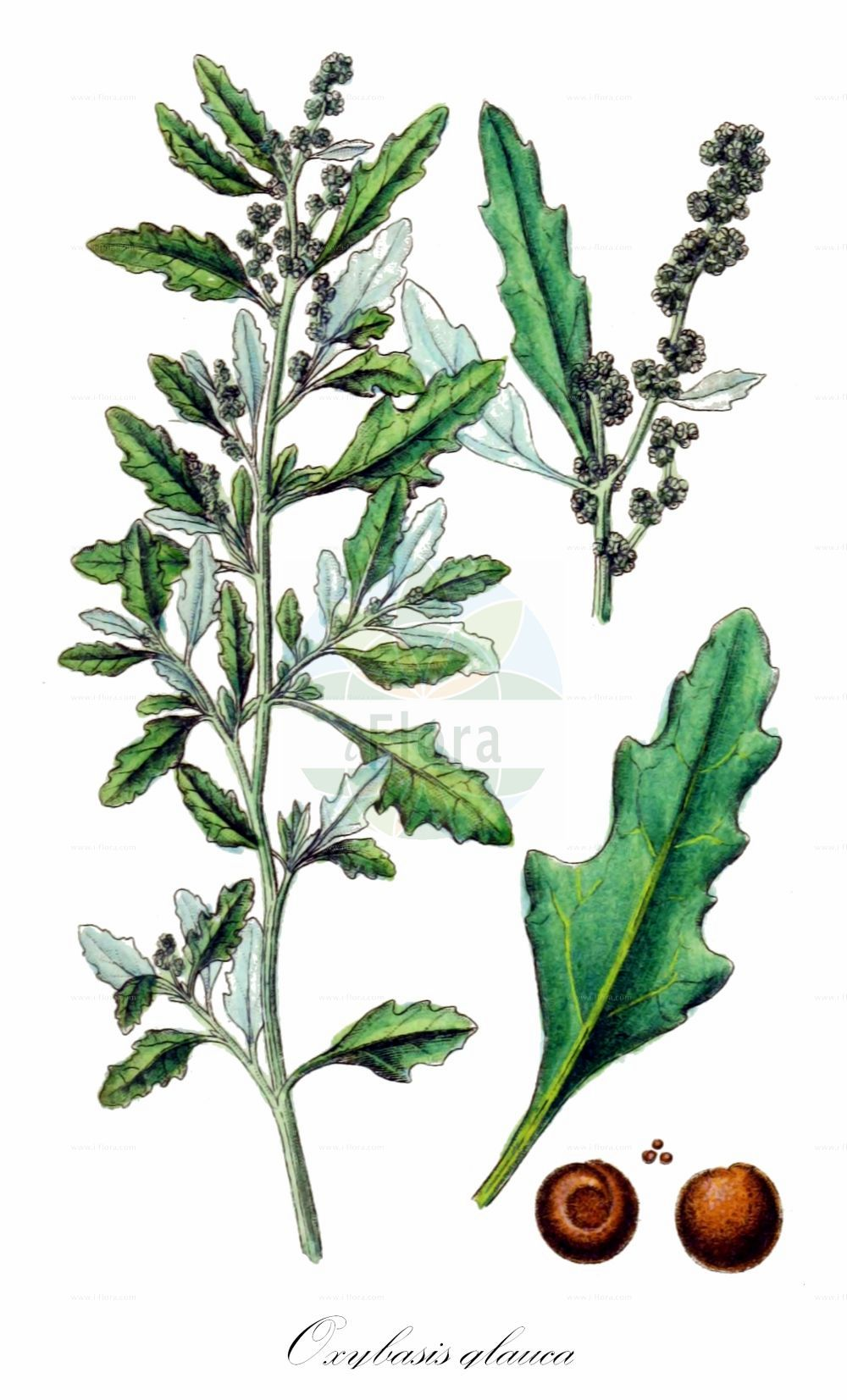 Historische Abbildung von Oxybasis glauca (Graugruener Gaensefuss - Oak-leaved Goosefoot). Das Bild zeigt Blatt, Bluete, Frucht und Same. ---- Historical Drawing of Oxybasis glauca (Graugruener Gaensefuss - Oak-leaved Goosefoot).The image is showing leaf, flower, fruit and seed.(Oxybasis glauca,Graugruener Gaensefuss,Oak-leaved Goosefoot,Chenopodium glaucum,Chenopodium wolffii,,Grauer Gaensefuss,Glaucous Goosefoot,Oak-leaf Goosefoot,Oxybasis,Amaranthaceae,Fuchsschwanzgewaechse,Pigweed family,Blatt,Bluete,Frucht,Same,leaf,flower,fruit,seed,Sturm (1796f))