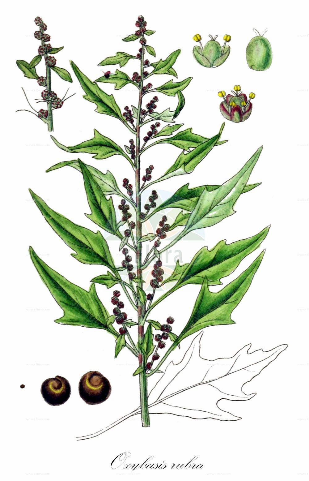 Historische Abbildung von Oxybasis rubra (Roter Gaensefuss - Red Goosefoot). Das Bild zeigt Blatt, Bluete, Frucht und Same. ---- Historical Drawing of Oxybasis rubra (Roter Gaensefuss - Red Goosefoot).The image is showing leaf, flower, fruit and seed.(Oxybasis rubra,Roter Gaensefuss,Red Goosefoot,Blitum rubrum,Chenopodium blitoides,Chenopodium rubrum,,Coast Blite,Oxybasis,Amaranthaceae,Fuchsschwanzgewaechse,Pigweed family,Blatt,Bluete,Frucht,Same,leaf,flower,fruit,seed,Sturm (1796f))