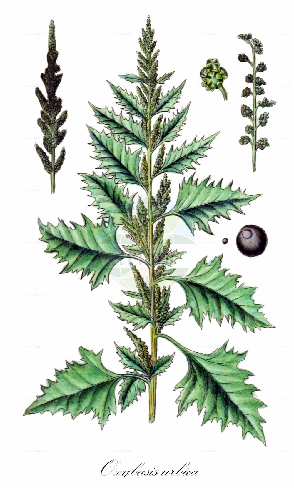 Historische Abbildung von Oxybasis urbica (Keilblaettriger Strassen-Gaensefuss - Upright Goosefoot). Das Bild zeigt Blatt, Bluete, Frucht und Same. ---- Historical Drawing of Oxybasis urbica (Keilblaettriger Strassen-Gaensefuss - Upright Goosefoot).The image is showing leaf, flower, fruit and seed.(Oxybasis urbica,Keilblaettriger Strassen-Gaensefuss,Upright Goosefoot,Chenopodium deltoideum,Chenopodium intermedium,Chenopodium melanospermum,Chenopodium rhombifolium,Chenopodium urbicum,,Gewoehnlicher Strassen-Gaensefuss,Stadt-Gaensefuss,Strassen-Gaensefuss,City Goosefoot,Triangular-leaved Goosefoot,Oxybasis,Amaranthaceae,Fuchsschwanzgewaechse,Pigweed family,Blatt,Bluete,Frucht,Same,leaf,flower,fruit,seed,Sturm (1796f))