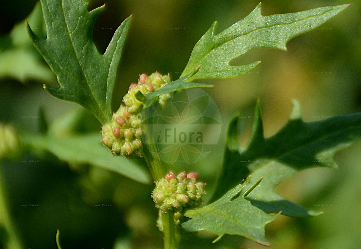 Foto von Blitum virgatum (Echter Erdbeerspinat - Strawberry Goosefoot). ---- Photo of Blitum virgatum (Echter Erdbeerspinat - Strawberry Goosefoot).(Blitum virgatum,Echter Erdbeerspinat,Strawberry Goosefoot,Chenopodium foliosum,Chenopodium virgatum,Morocarpus foliosus,Durchblaetterter Gaensefuss,Strawberry Blite,Leafy Goosefoot,Blitum,Amaranthaceae,Fuchsschwanzgewaechse,Pigweed family)
